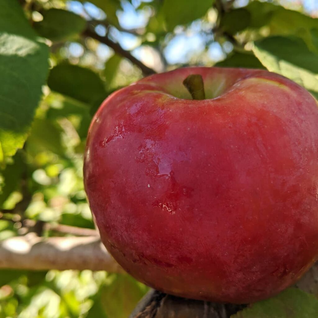 Les pommes de septembre